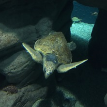 Sea turtle at the Osaka Kaiyukan Aquarium